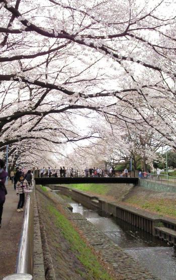 Sakura_hashi_2