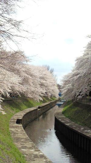 Sakura_zenpukujigawa_2