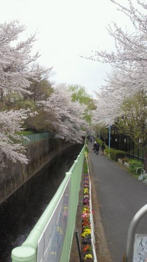 Sakura_kandagawa