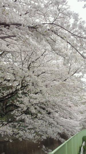 Sakura_kandagawa2