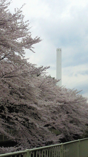 Sakura_takaido