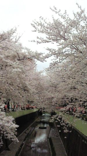 Sakura_takaido2